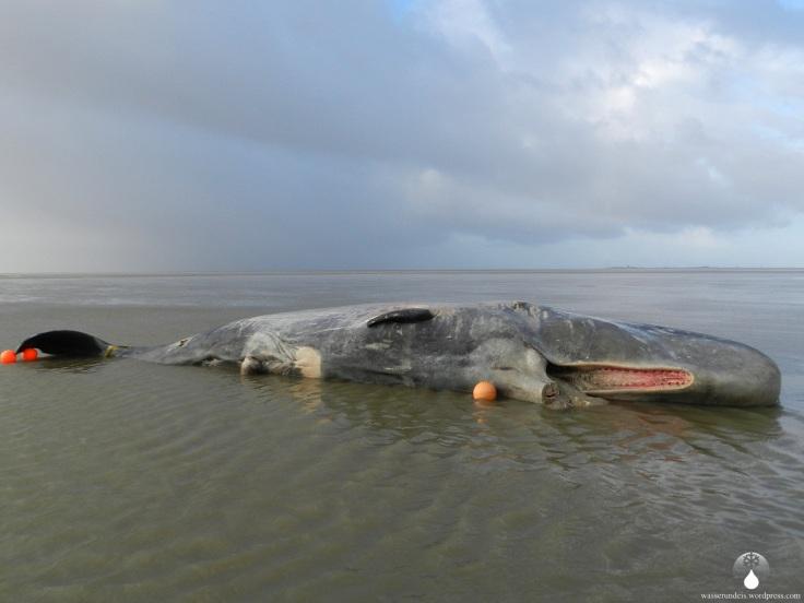 Pottwal Duhnen Cuxhaven Wal gestrandet