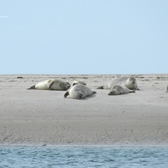 Seehunde Langjord Fanø