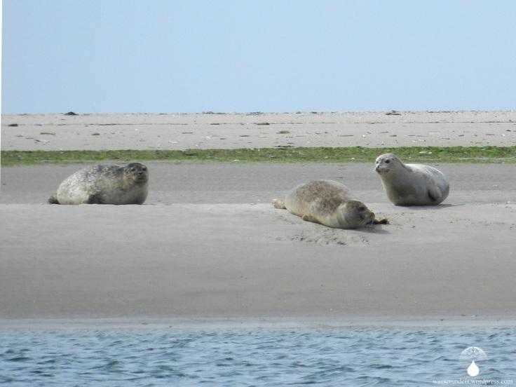 Langjord Fanø Seehunde