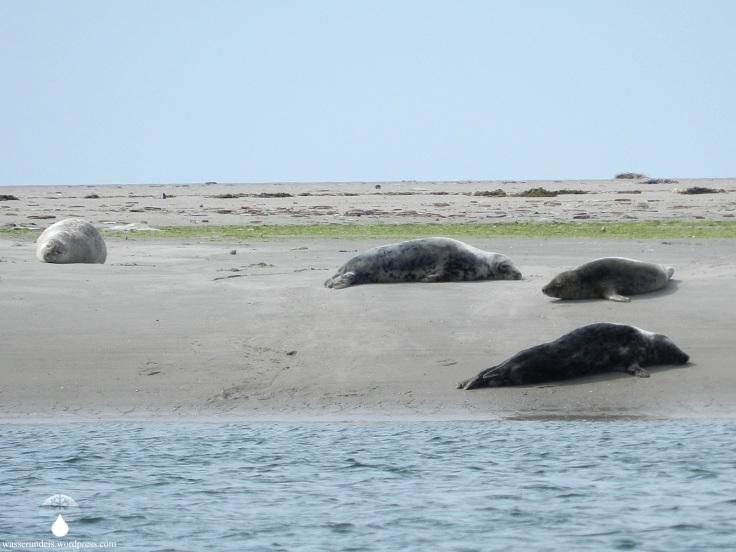 Kegelrobben Seehunde Fanø