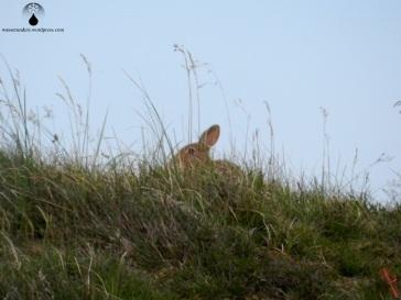 Wildkaninchen in den Dünen von Fanø.
