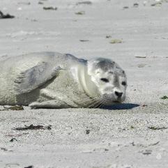 Babyseehund auf der Düneninsel von Helgoland.