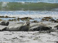 Strand auf der Düne mit Seehunden.