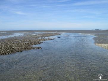 Austernbänke im Sahlenburger Watt. Die Pazifische Felsenauster breitet sich hier rasant aus.