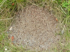 Ameisenhaufen.
