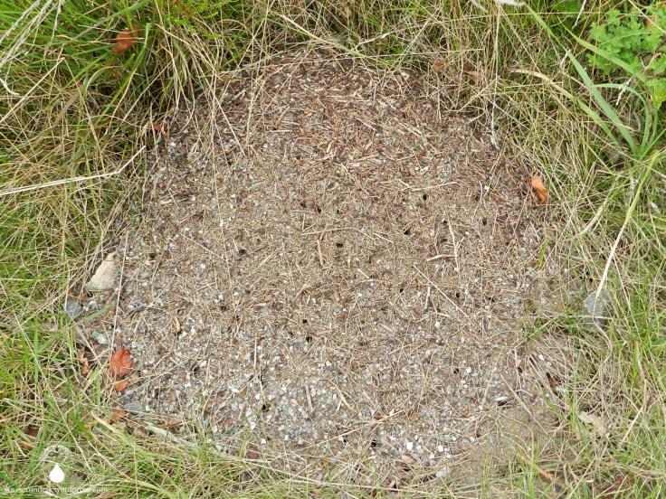 Ameisenhaufen Küstenheide Cuxhaven
