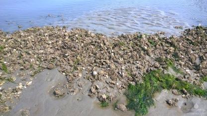 Die Muschelfelder der Pazifischen Auster haben im Bereich des Sahlenburger Lochs inzwischen riesige Außmaße angenommen. Vielleicht könnte man diesen Neozen auch vermarkten?