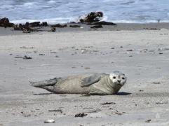 Einzelner, junger Seehund am Nordstrand der Helgoländer Düne.