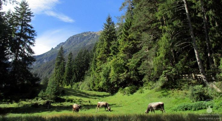 #Alpen Alm Kühe Fernpass 2017