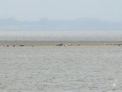 Seehunde auf einer Sandbank im Wattenmeer vor Bremerhaven.