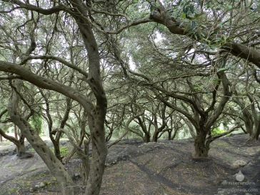 Typischer, genutzter, Olivenhain auf Korfu.