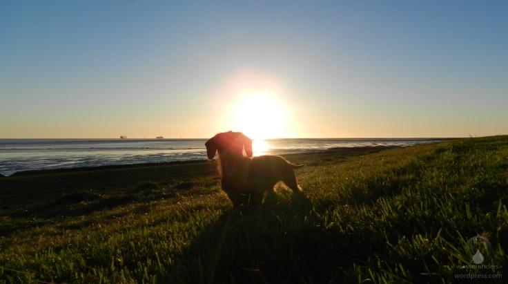 #Dackel im Sonnenuntergang