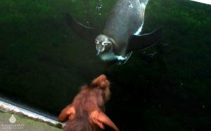 Humboldtpinguin im Zoo am Meer Bremerhaven.