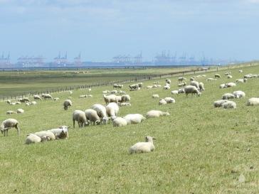 Weidende Schafe auf dem Hauptdeich bei Langwarden. Im Hintergrund die Containerbrücken des Containerterminals Bremerhaven.