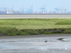 Austernfischer im Watt, hinten das Containerterminal von Bremerhaven.