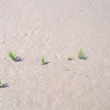Spuren im Watt mit Quellerpflanzen.