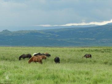 Eine Herde Islandpferde im grünen südwesten Islands.