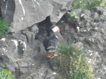 Papageientaucher in den Klippen von Dyrhólaey.