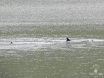 Zwischendurch zeigen die Meeressäuger auch mal ihre Rückenflossen.
