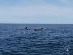 Zwei Delfinfe in den Gewässern der Bucht von Skjálfandi bei Husavik.