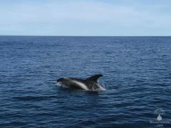 Springender Delfin in den Gewässern vor Husavik.