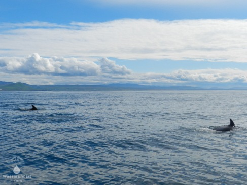 Zwei Weißseitendelfine in der Bucht von Skjálfandi.
