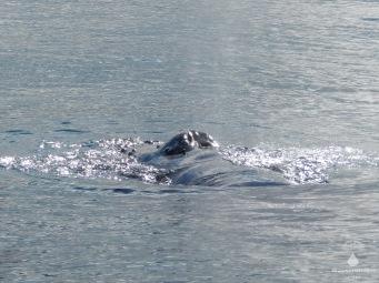 Blas und Blasloch des Buckelwals.