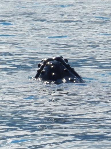 Der Wal zeigt seine pockige Schnauze.