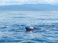 Der abtauchende Buckelwal zeigt seine Finne.