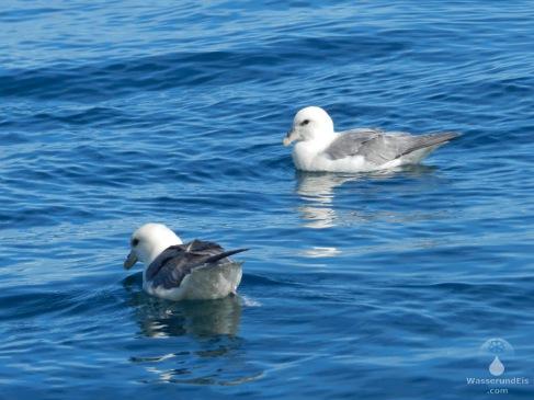 Zwei Eissturmvögel auf der Bucht von Skjálfandi.