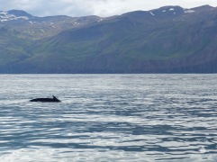 Zum Abschied, kurz vor seinem abtauchen, zeigt uns der Buckelwal noch einmal seine Finne zum Gruß.