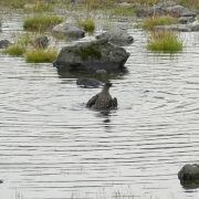 Eine badende Skua, Raubmöwe am Fjallsárlón.