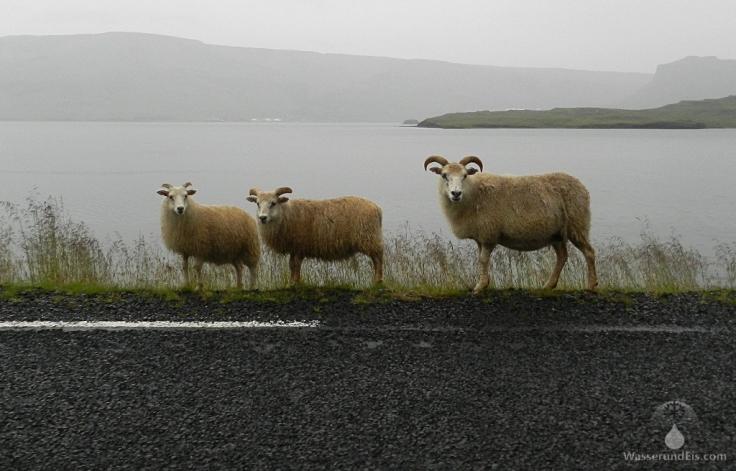#Schafe auf Straße
