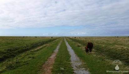 Hundewanderweg mitten durch die Rinderweiden. Find ich super!