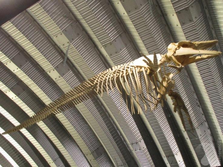 Schweinswal Skelett Natureum Niederelbe