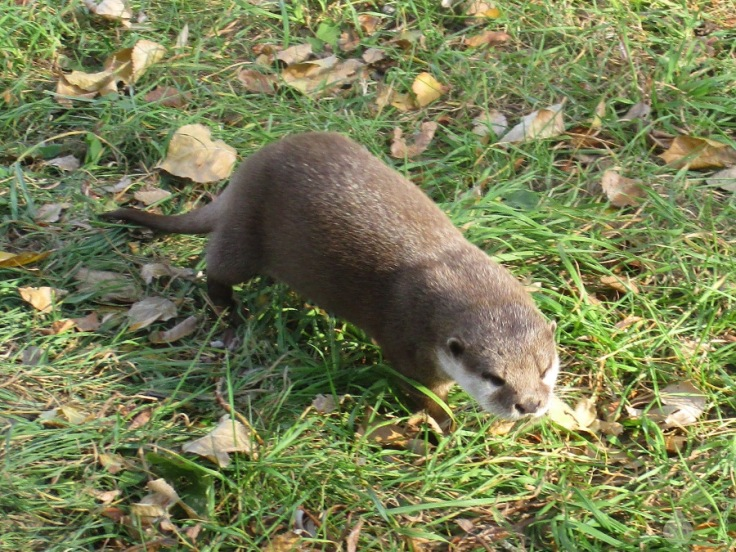 Zwergotter Otter Natureum Niederelbe Balje