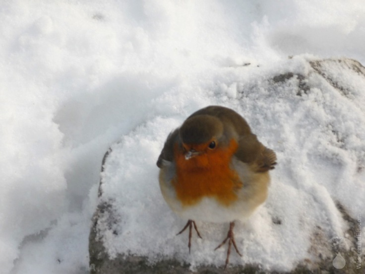 Rotkehlchen Schnee Winter
