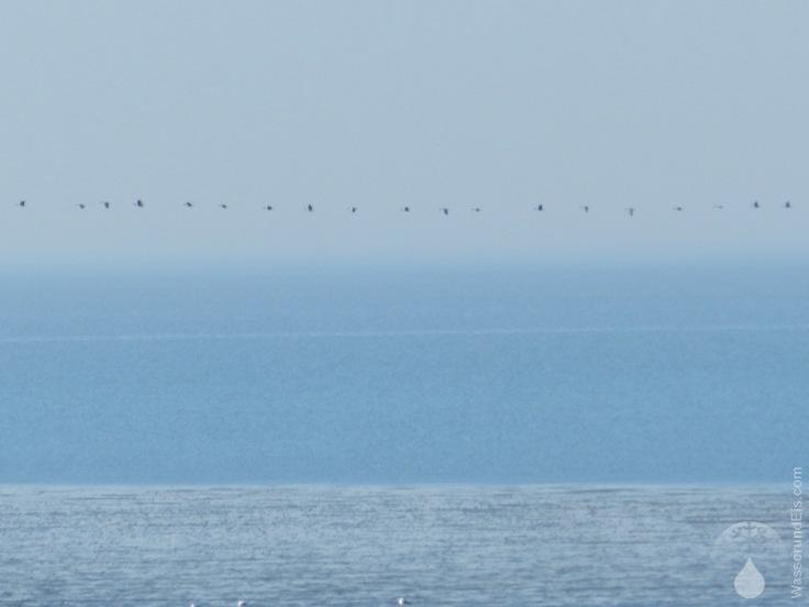 Gänse Kanadagans Wattenmeer