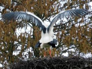 Störche Paarung Nest