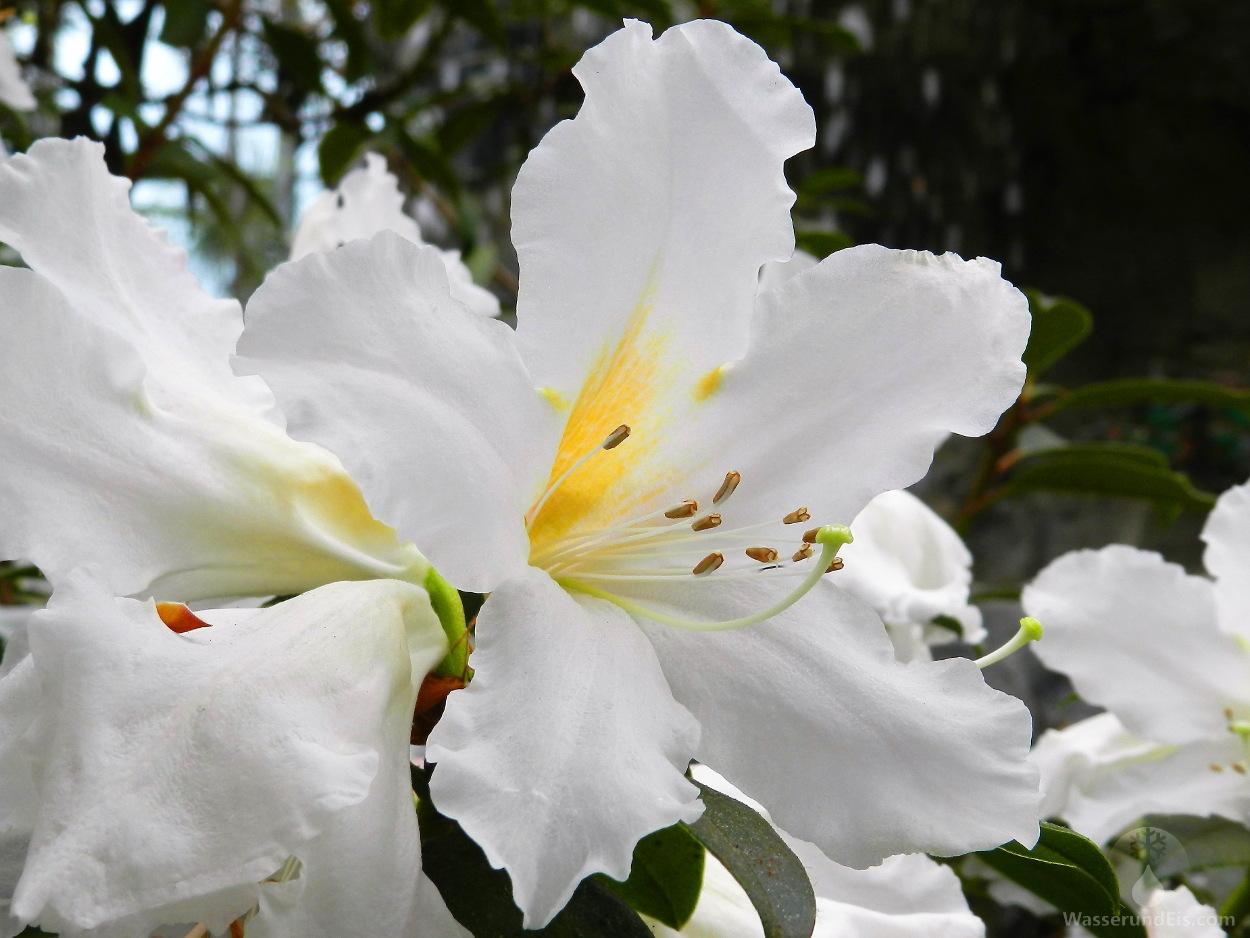 Rhododendron Botanika Bremen