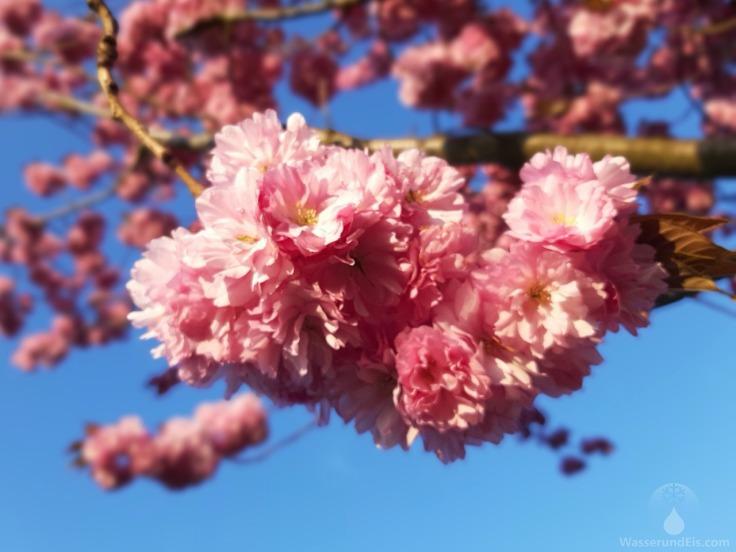 #Blühender Japanischer Kirschbaum