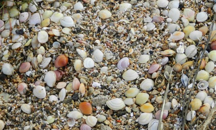 Muscheln Wurster Nordseeküste