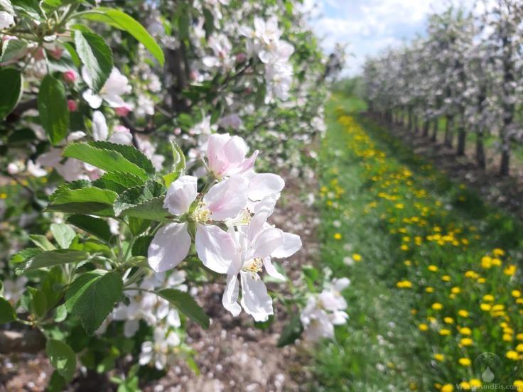 Apfelblüte Apfelbäume Altes Land
