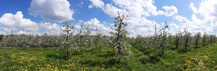 Altes Land Apfelblüte