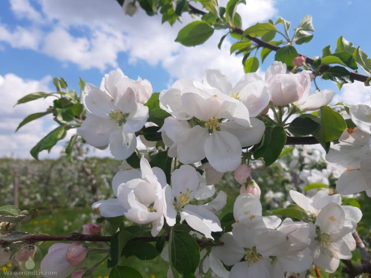 Apfelblüte Altes Land Frühling