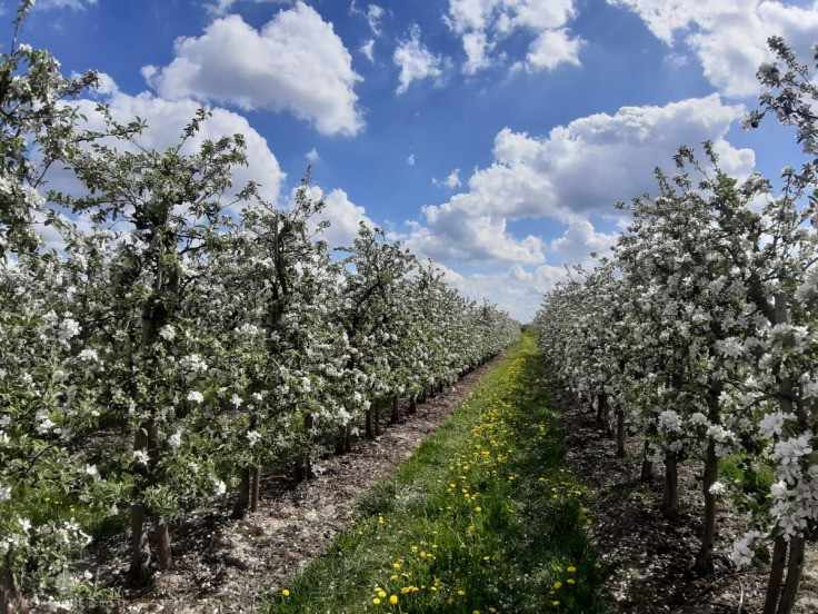 Altes Land Obst Blüte Frühling