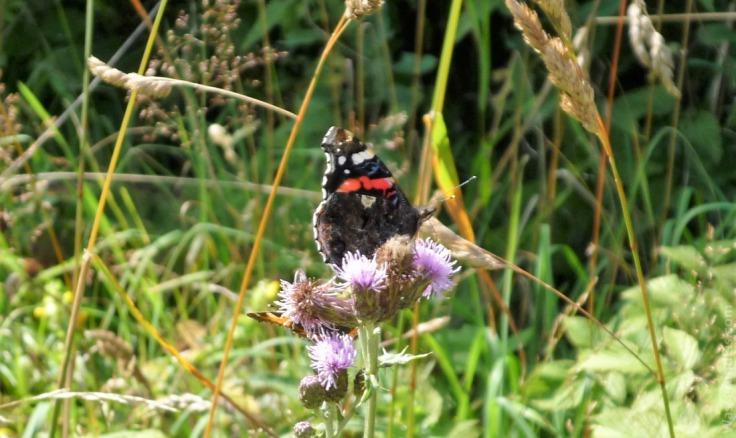 #Hochheide Schmetterling Admiral