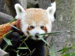 2020-03-06-00-Schönbrunn-Tiergarten-Roter-Panda