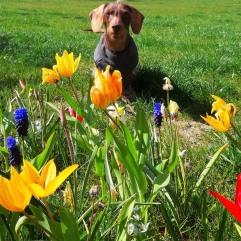 #Hund Fotomodell Dackel 2020