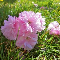 #Japanische Kirschblüte 2020